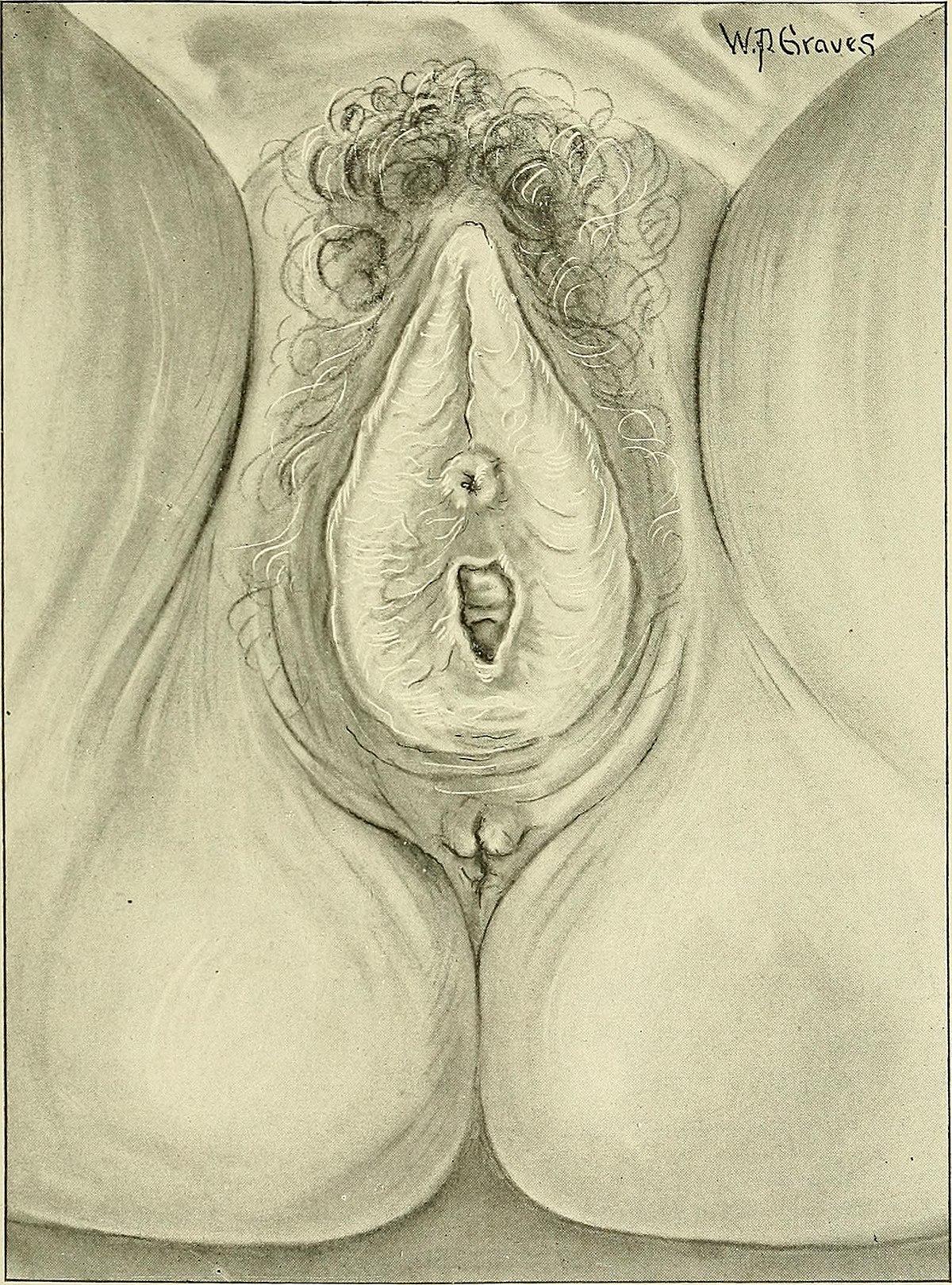wikipedia vulva
