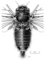 HEMI Cicadidae Maoricicada clamitans m.png