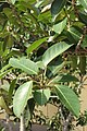 HKCL 香港中央圖書館 CWB tree green leaves 高山榕 Ficus altissima Oct-2017 IX1 08.jpg
