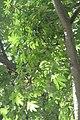 HK CWB 高士威道 Causeway Bay Road 維多利亞公園 Victoria Park tree Sept 2017 IX1 吉貝 Ceiba pentandra palm compound leaves 01.jpg