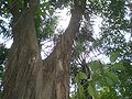 HK Park Ficus altissima 高山榕 Saturday 2.JPG