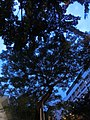 HK Wan Chai night Oi Kwan Road trees May-2014.JPG