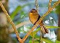 Habia fuscicauda -near Rancho Naturalista, Cordillera de Talamanca, Costa Rica -female-8.jpg