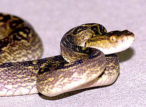 Protobothrops flavoviridis - Image: Habu pitviper