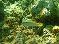 Halichoeres scapularise45.jpg