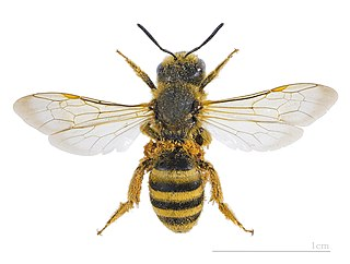 Halictidae family of small bees