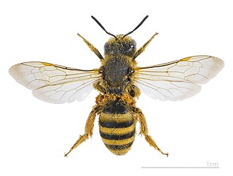 Halictidae - Halictus scabiosae - MHNT
