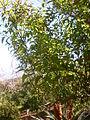 Halleria lucida 1c.JPG