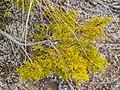 Halocarpus bidwillii in Rangipo Desert 04.jpg