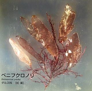 Palmariales order of algae