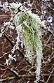 Hanging moss with ice crystals (8404478990).jpg