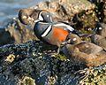 Harlequin ducks (Histrionicus histrionicus) (4270430848).jpg