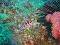 Hawkfish at Xstacy reef dsc04425.jpg