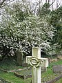 Hawthorn in bloom in Wilstone Cemetery - geograph.org.uk - 1217372.jpg
