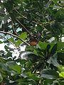 Hecale longwing 2013-09-13 11-14.jpg
