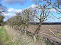 Hedgerow, East of Kingsley - geograph.org.uk - 352630.jpg