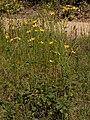 Helianthus silphioides.jpg