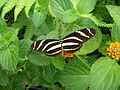 Heliconius charithonia - taken by Heinz Janssen 2010 in Buchholz.JPG