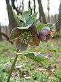 Helleborus purpurascens 20100404.jpg