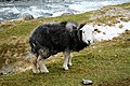 Herdwick by the Derwent - geograph.org.uk - 713622.jpg