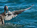 Heron 10 (7378097092).jpg