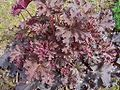 Heuchera micrantha a1.jpg