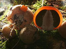 Studie svampar i krig under jorden