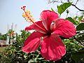 Hibiscus 03.jpg