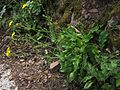 Hieracium amplexicaule 25754.JPG