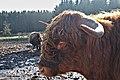 Highland cattle in Fagne Tirifaye, Waimes, Belgium (VeloTour intersection 80, DSCF3637).jpg