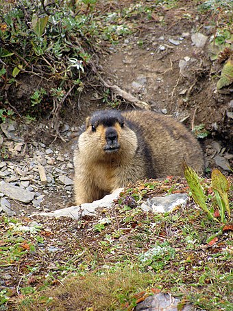 The Himalayan marmot Himalayan Marmot at Tshophu Lake Bhutan 091007 a.jpg