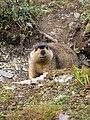 Himalayan Marmot at Tshophu Lake Bhutan 091007 a.jpg