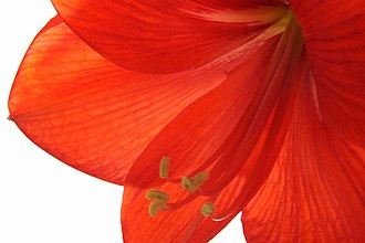 Hippeastrum - Detail of Hippeastrum flower