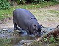 Hippopotamus amphibius juvenile Basel Zoo 28102013 2.jpg