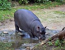 Hippopotamus - Wikipedia