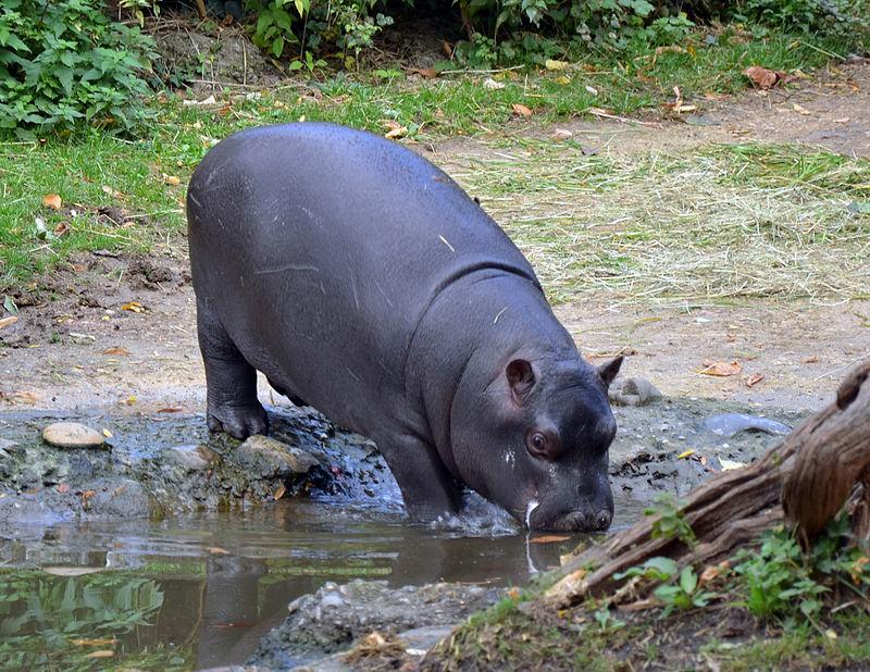 A juvenile hippo