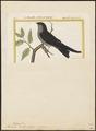 Hirundo borbonica - 1700-1880 - Print - Iconographia Zoologica - Special Collections University of Amsterdam - UBA01 IZ16700157.tif