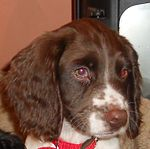 Holly English Springer Spaniel.jpg