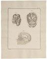 Homo sapiens - hersenen - 1700-1880 - Print - Iconographia Zoologica - Special Collections University of Amsterdam - UBA01 IZ19600099.tif
