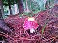 Hongo en el campo de Frutillar - panoramio.jpg