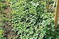 Horngurke - Kiwano - Cucumis metuliferus im Garten, kletternd 07 ies.jpg