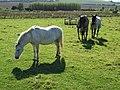 Horses and pony at Thorpe Farm - geograph.org.uk - 554483.jpg