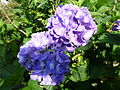 Hortensien-Blüte.JPG