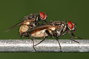 English: Houseflies Musca domestica mating. Pi...