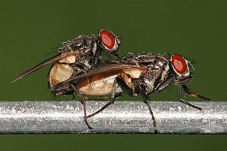 Houseflies having sex