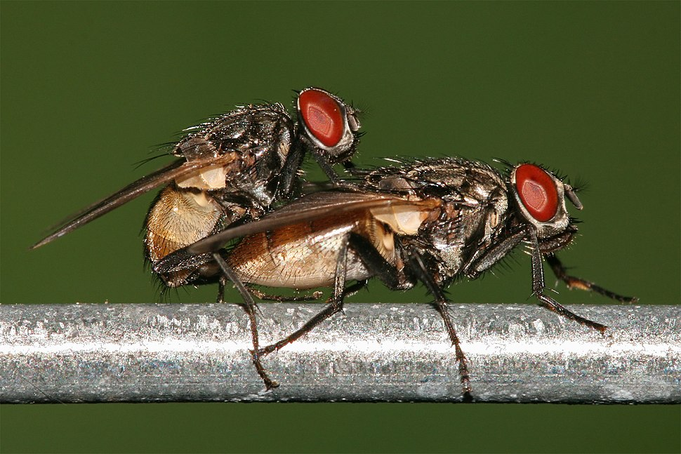 Housefly mating
