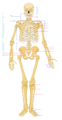 Human Skeleton Front Blank Lines.png