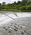 Humber Weir Canada Geese.JPG