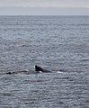 Humpback Whale in Barkley Sound BC (5946391820).jpg