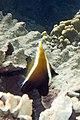 Humphead bannerfish Heniochus varius (7504787246).jpg